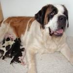 Yogijo med alle hvalpene der nu er 2 dage gamle